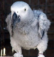 Plucked African Grey