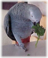Zachie The Grey  Eating Greens